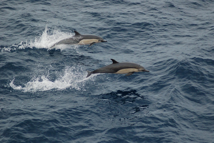 are dolphins endangered