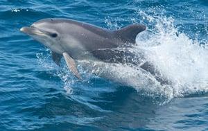 Bottlenose Dolphin Species