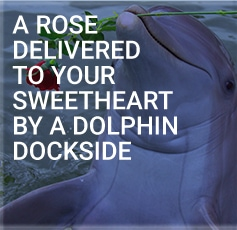 A Rose Delivered To Your Sweetheart By A Dolphin Dockside