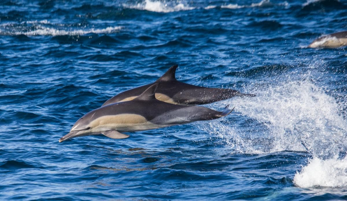 short-beaked_common_dolphin