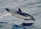 striped dolphin species